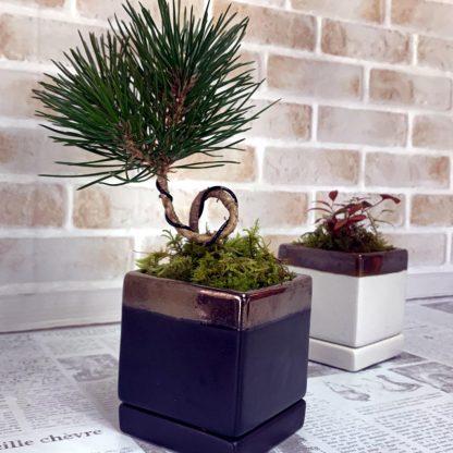 四角型植木鉢の誉と松