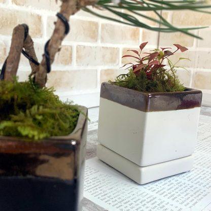 四角型植木鉢の誉と苔松