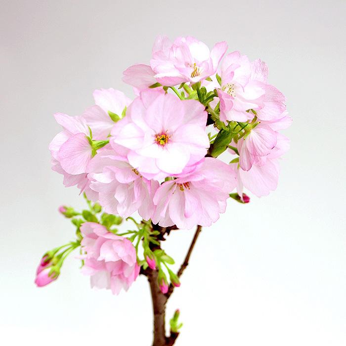 旭山桜ズーム