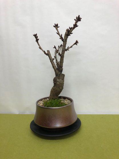 桜苗木鉢植え皿付き