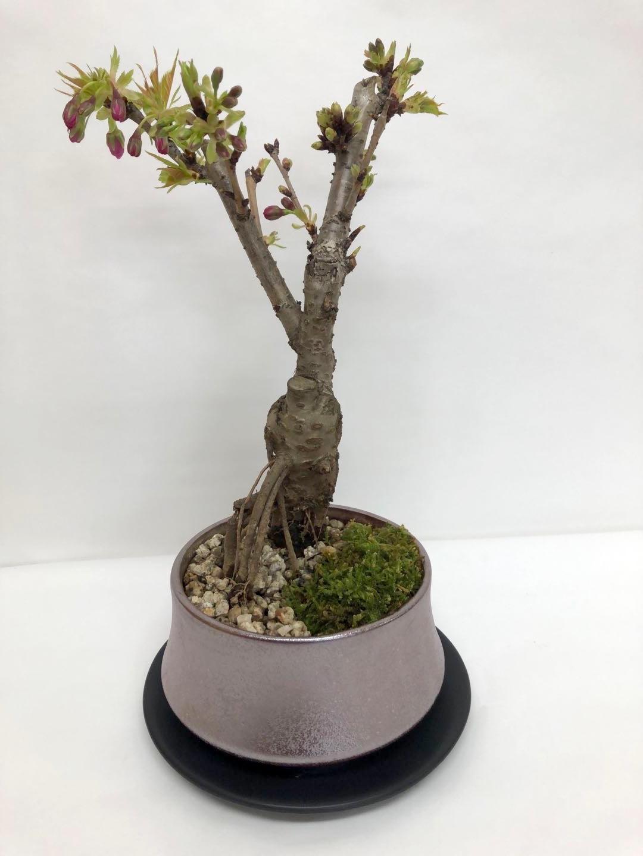 旭山桜盆栽植木鉢