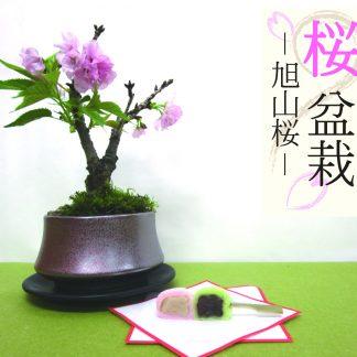 サクラ盆栽旭山桜プレゼントギフト