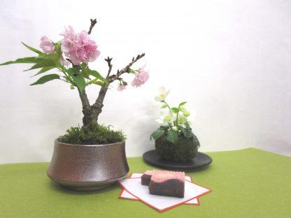 桜盆栽でお家でお花見