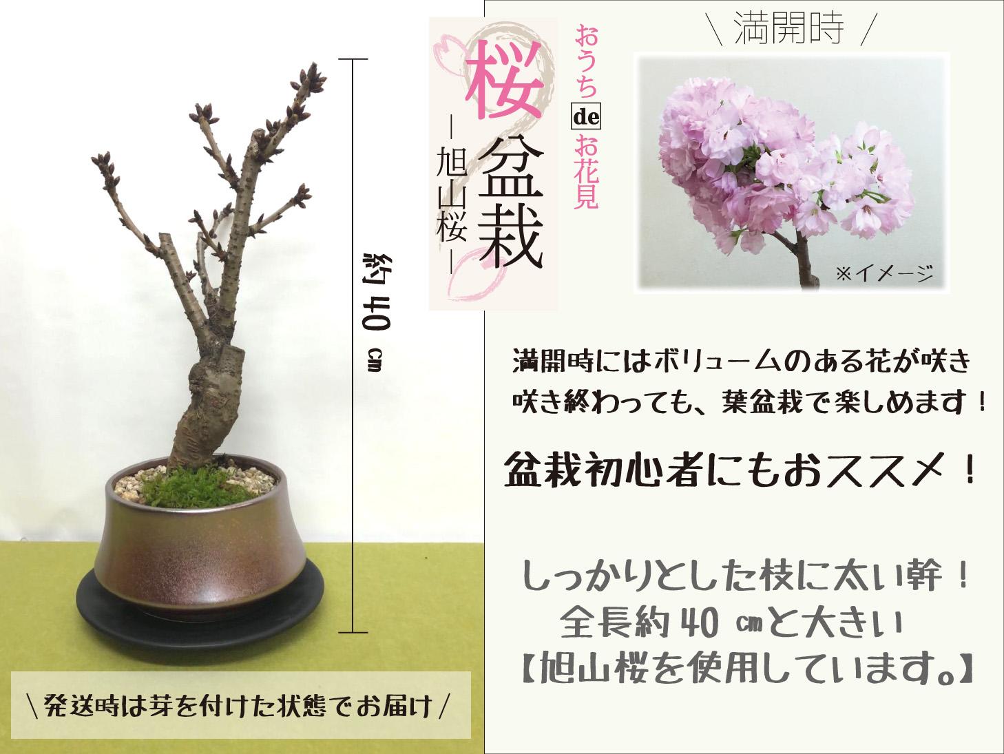 ガーネット釉薬の植木鉢と旭山桜盆栽蕾